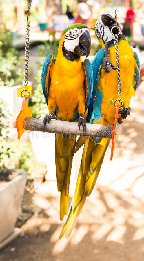 Colorful couple macaws sitting on swing. Colorful beautiful couple macaws sitting on log stock photo