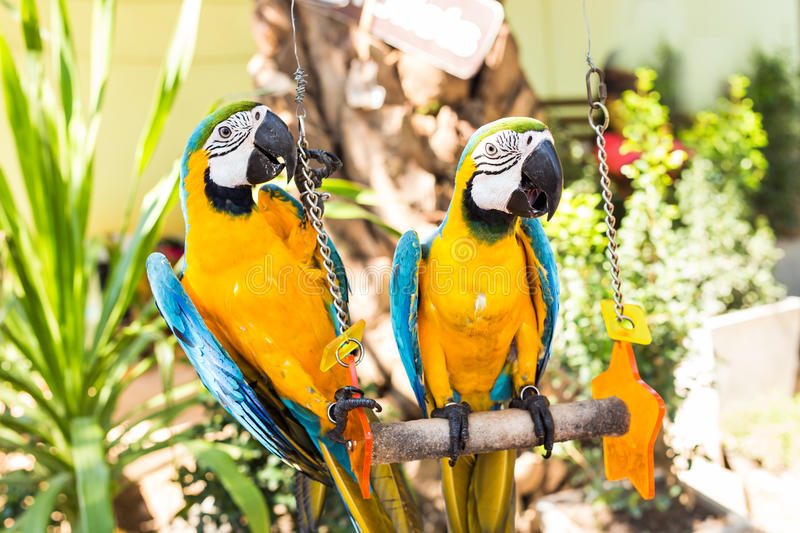 Colorful couple macaws sitting on swing. Colorful beautiful couple macaws sitting on log stock images
