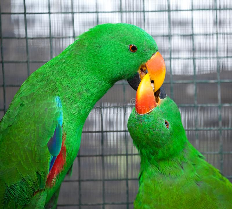 Colorful couple parrot sitting on log. Colorful feather with red, blue, green color. Both show clean behavior by cleaning their feather stock photos