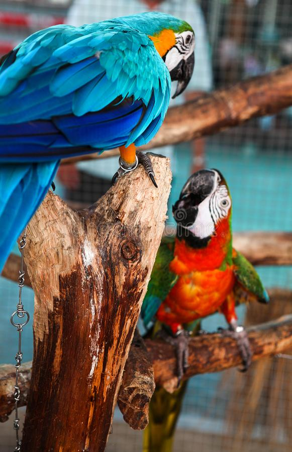 Colorful couple red and blue macaws sitting on log. Colorful couple red and blue macaws sitting on log stock photo