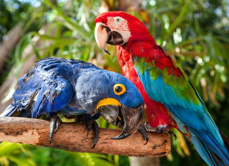Colorful couple red and blue macaws sitting on log. Colorful couple red and blue macaws sitting on log royalty free stock photography
