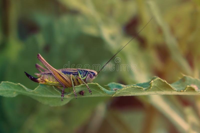 Colorful Cricket on green leaf stock images