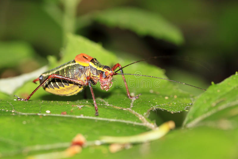 Colorful cricket on a leaf royalty free stock image