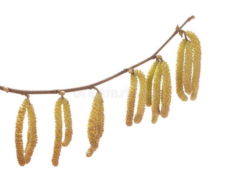 Hazel catkins (Corylus avellana) royalty free stock images