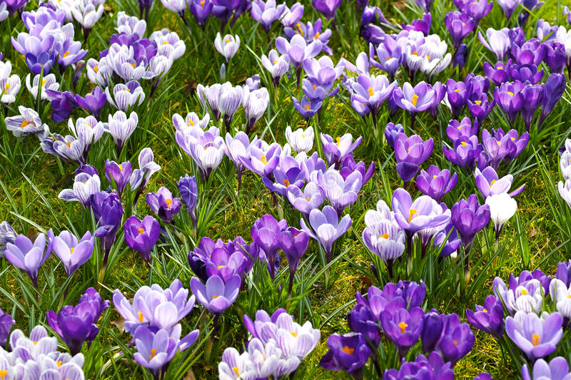 Colorful crocus. Many crocus in grass in different colors royalty free stock photos