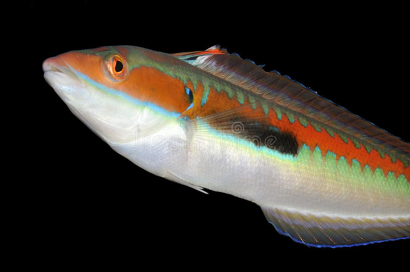 Colorful damsel fish. Side macro portrait of colorful damsel fish isolated on black background stock photos