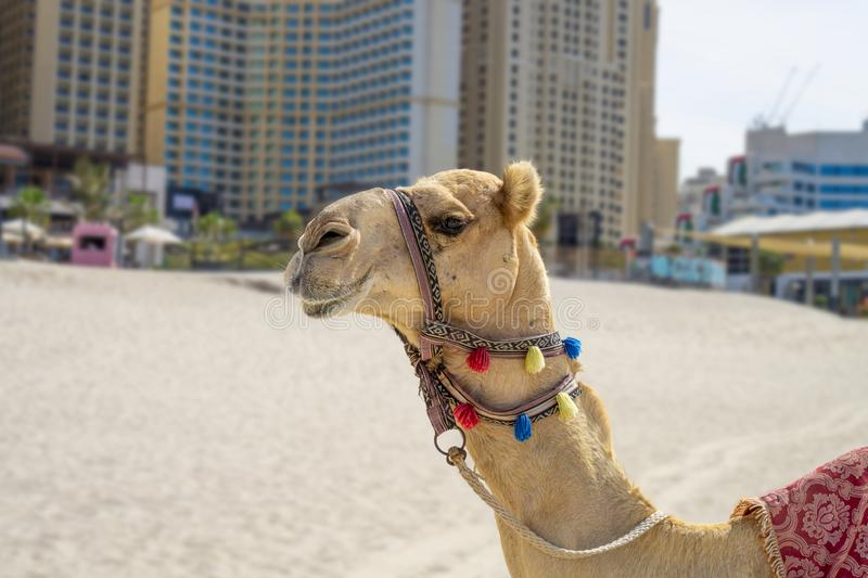 Colorful decorated Camel on the sandy Jumeirah JBR beach in Dubai with skyscrapers stock image