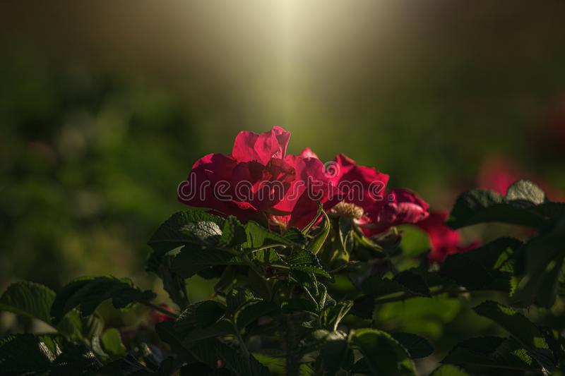 Colorful delicate wild rose illuminated by warm summer evening sun royalty free stock photos