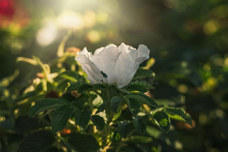 Colorful delicate wild rose illuminated by warm summer evening sun royalty free stock photo