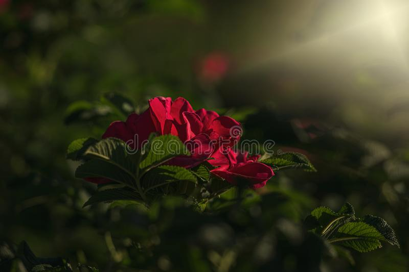 Colorful delicate wild rose illuminated by warm summer evening sun royalty free stock image