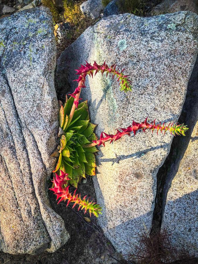 Colorful Desert Plant On a Rock stock images