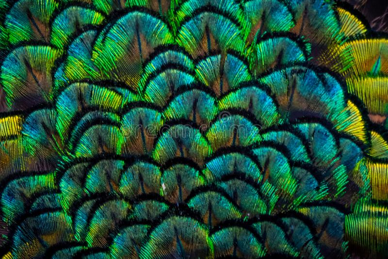 Colorful details of peacock plumage. In black, green, blue and yellow royalty free stock photography