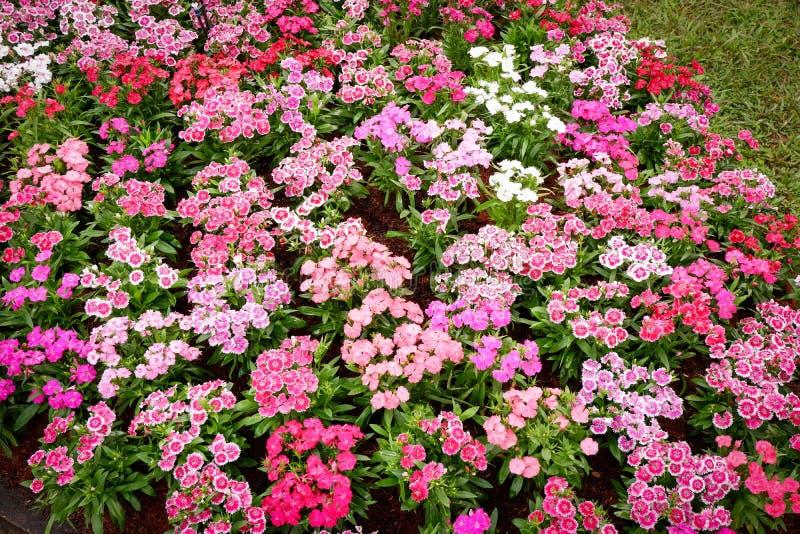 Dianthus Flower. Colorful dianthus barbatus flower, flowerbed of dianthus chinensis flower stock photo
