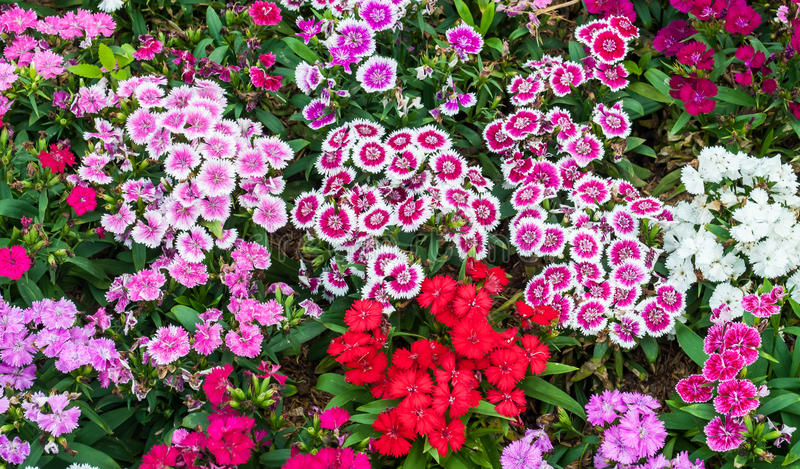Dianthus Flower. The colorful Dianthus flowers in a park royalty free stock photo