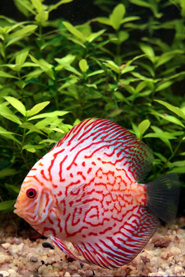 Free Colorful Discus Fish Royalty Free Stock Photos - 12780958