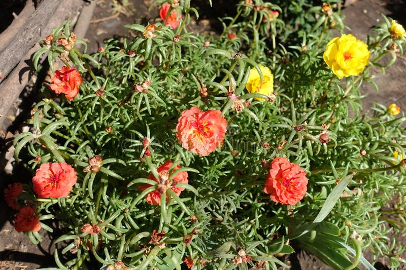 Colorful double flowers of Portulaca grandiflora stock photos