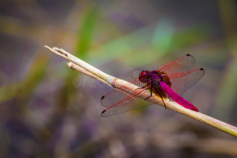 Colorful dragonfly stock images