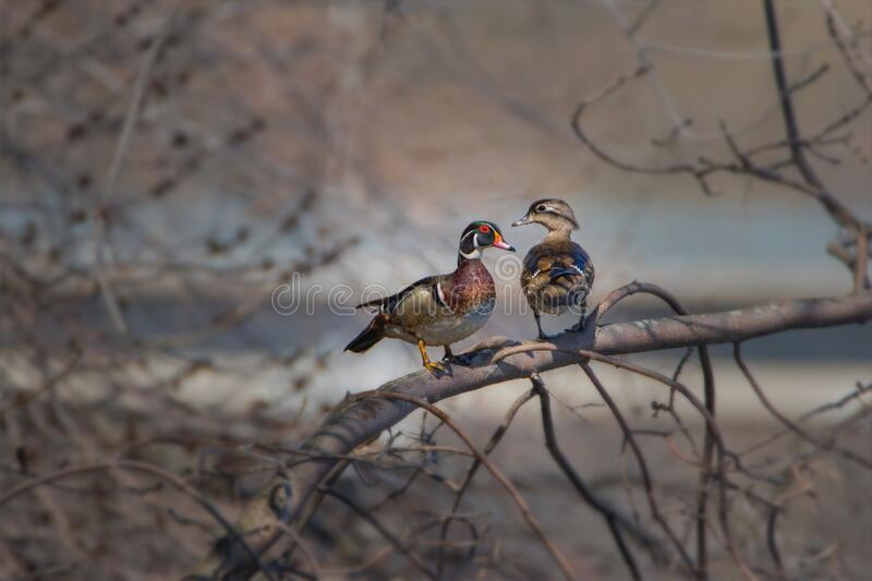 Wood Ducks couple on tree branch sunbathing in early morning light stock images