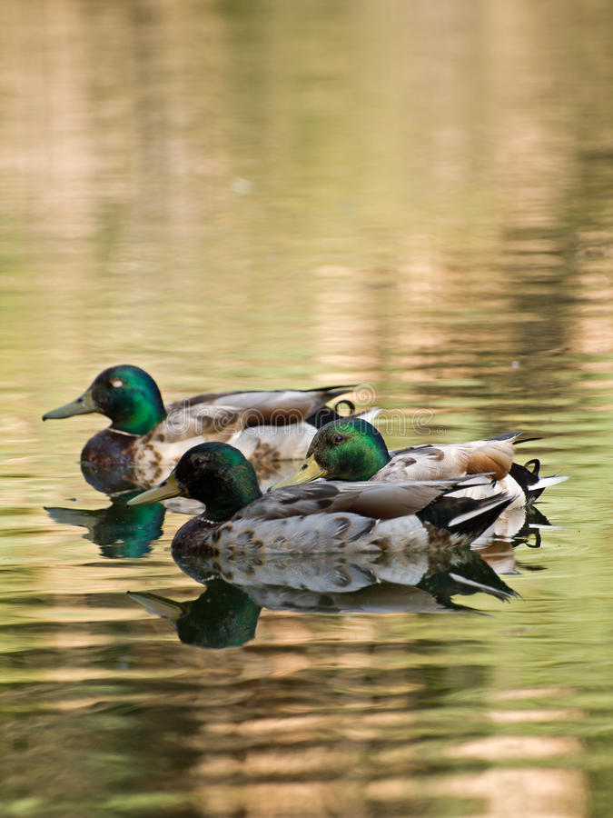 Free Colorful Ducks On The Lake Royalty Free Stock Photo - 20770705