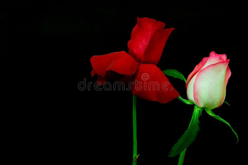 Pair of beautiful multi color roses against dark background. Colorful duo of romantic roses against black backdrop stock photo