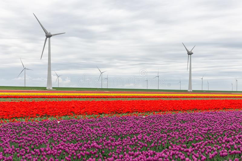 Colorful Dutch tulip fields with big wind turbines royalty free stock photography