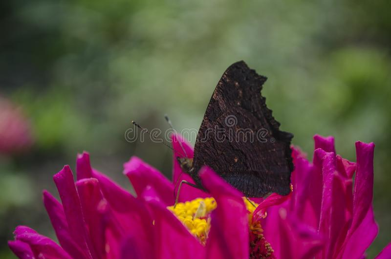 Colorful european peacock butterfly Inachis io, Aglais io sits on an magenta Zinnia flower with closed wings, blurred royalty free stock photo