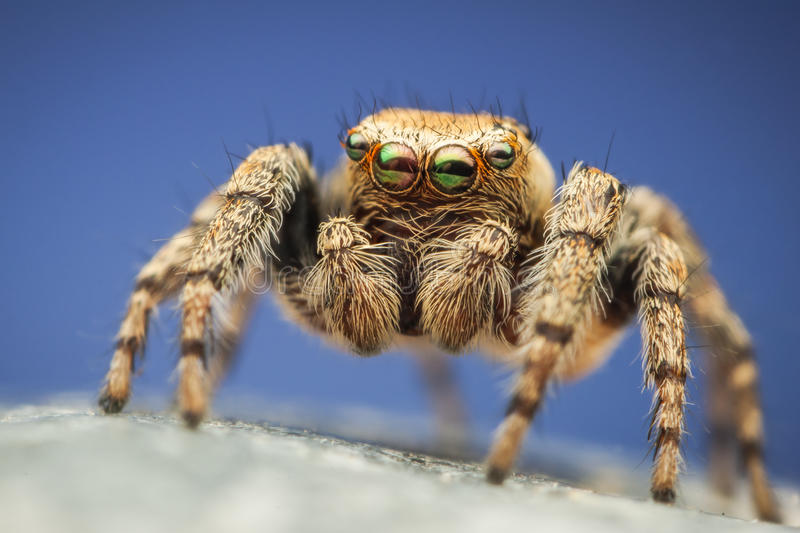 Download Colorful Evarcha Hoyi Jumping Spider Stock Photo - Image: 25863712