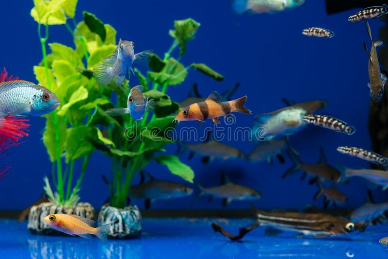Colorful exotic fish in the aquarium royalty free stock photo