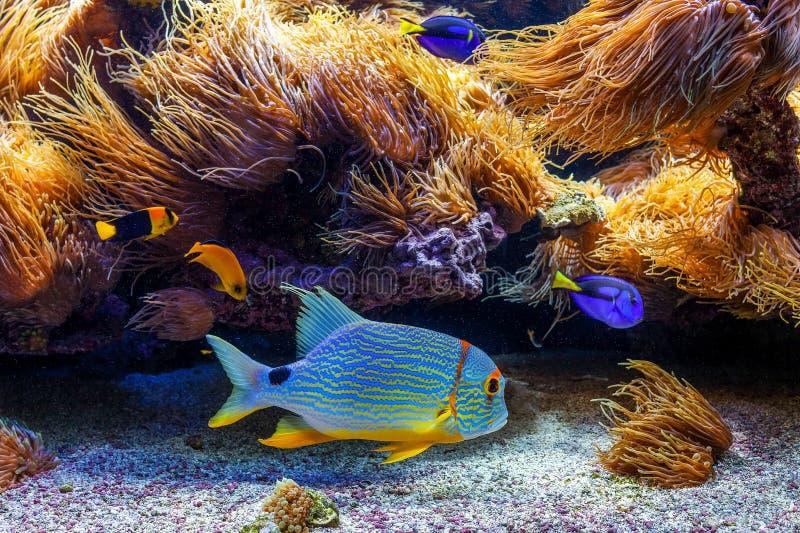 Colorful exotic fishes in aquarium. stock images