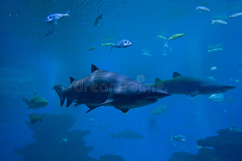Colorful exotic tropical fishes and sharks underwater in aquarium. stock photography