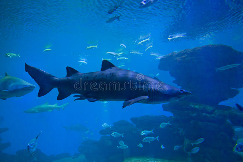 Colorful exotic tropical fishes and sharks underwater in aquarium. royalty free stock photos