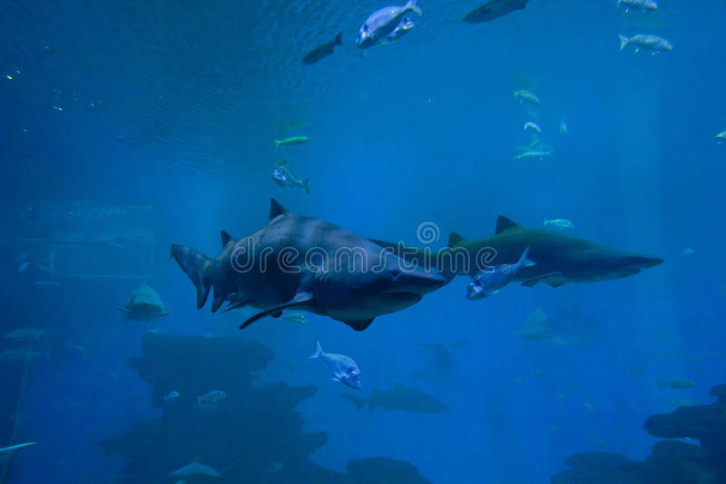 Colorful exotic tropical fishes and sharks underwater in aquarium. stock photo