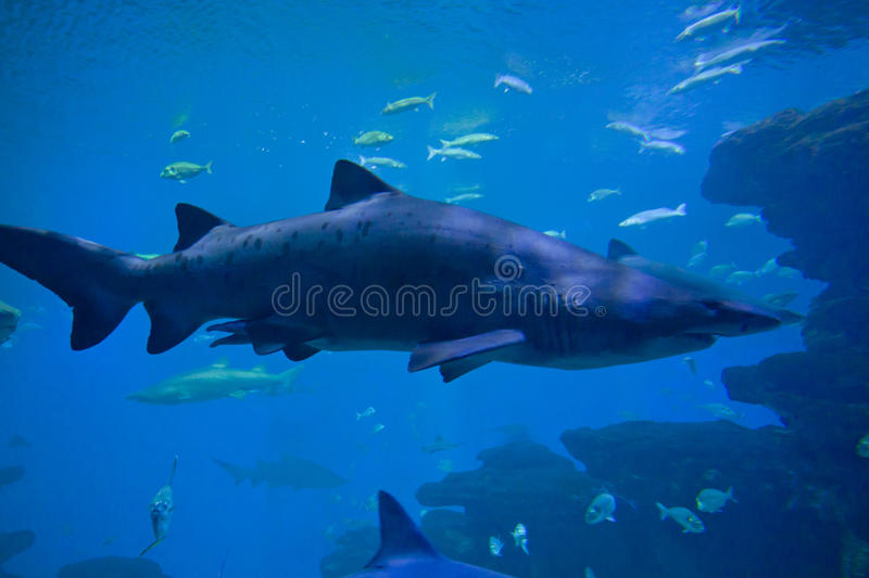 Colorful exotic tropical fishes and sharks underwater in aquarium. stock photos