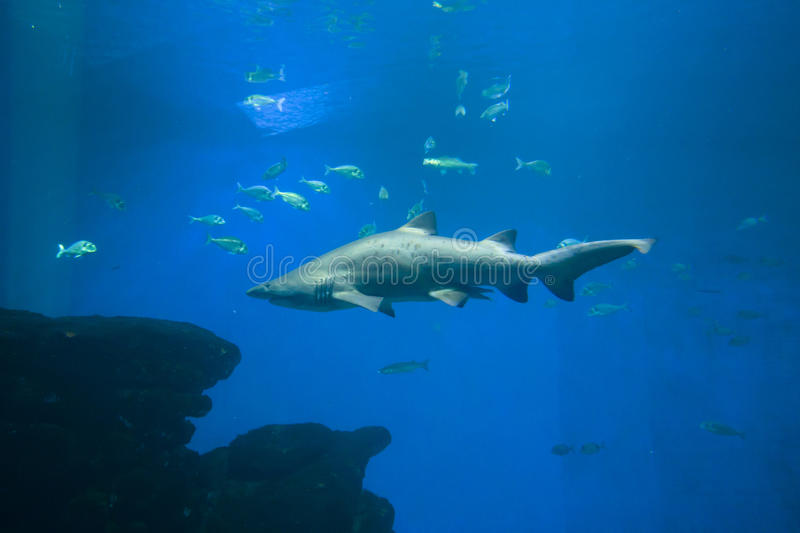 Colorful exotic tropical fishes and sharks underwater in aquarium. stock images