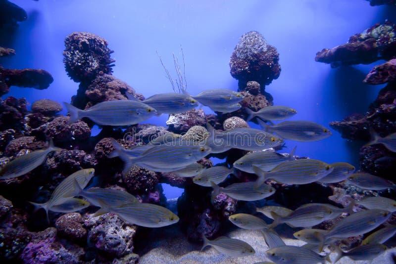 Colorful exotic tropical fishes underwater in aquarium. stock image