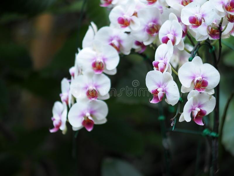 Colorful exotic tropical orchids on a hanging pot under natural lighting. Outdoor in garden with romantic dark green blur bokeh background stock photo
