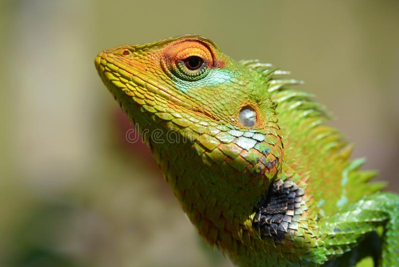 The portrait of common green forest lizard or Calotes calotes. The colorful face of Calotes calotes called green forest lizard , a kind of agama living in the royalty free stock photos