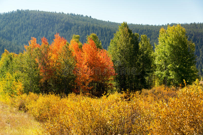 Colorful Fall Foliage. Orange, red, and green fall foliage in Grand Teton National Park royalty free stock photo
