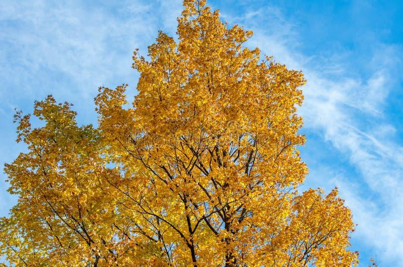 Colorful fall foliage. Tree with colorful fall foliage and blue sky stock image