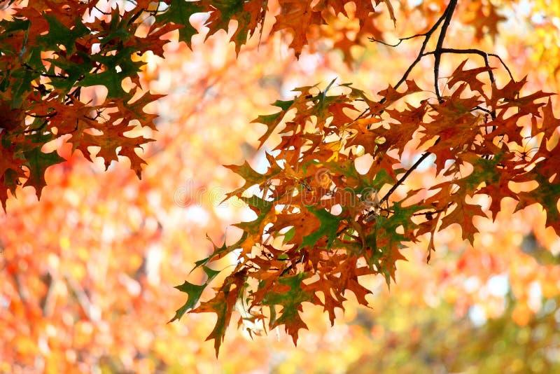 Colorful Fall Oak Leaves stock photo