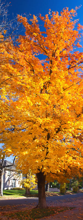 Colorful Fall Tree on a Sunny Day along a City Street royalty free stock image