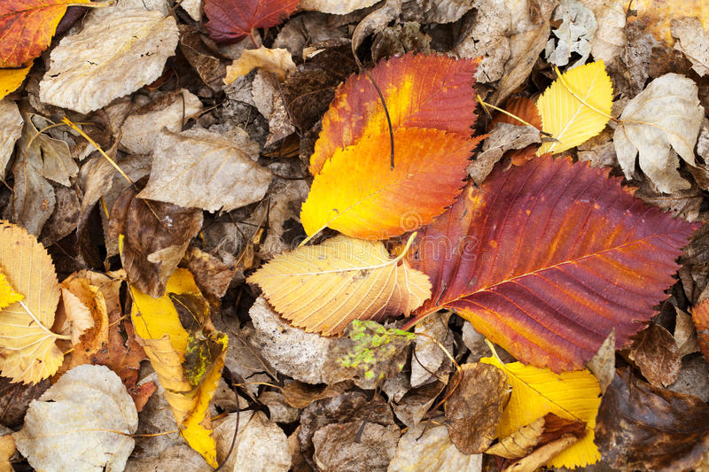 Colorful fallen dry autumnal leaves. Lay on the ground in the forest stock photos