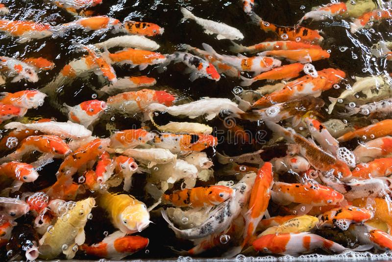 Colorful fancy carp fish, koi fish stock image