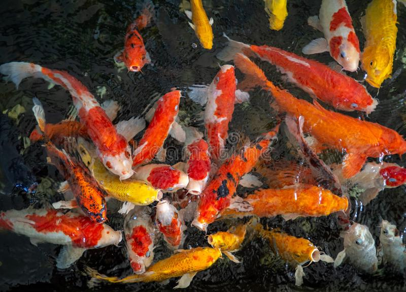 Colorful fancy carp fish, koi fish, Fish Japanese swimming (Cyprinus carpio) beautiful color variations natural organic stock image