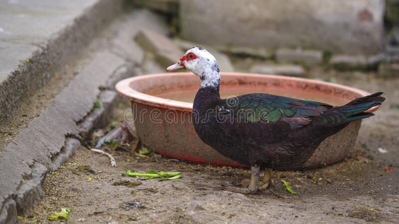 A colorful feathered duck is in front of the food bowl. The colorful feathered duck, just after enjoying the food, stared in front of the food bowl stock photo