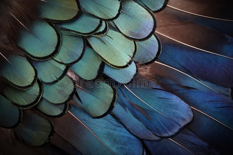 Colorful feathers, bird feathers background texture. Top view royalty free stock image