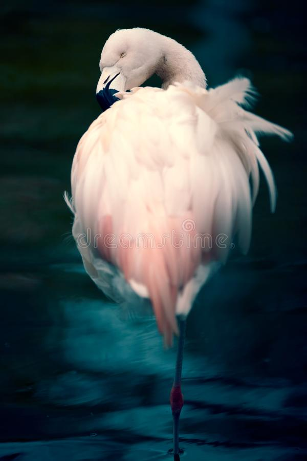 Flamingo on the Zoo, angry looking. Colorful feathers, black beak. Long thin leg, standing in the water. Angry looking. Pink feathers. Wildlife in the Zoo royalty free stock image