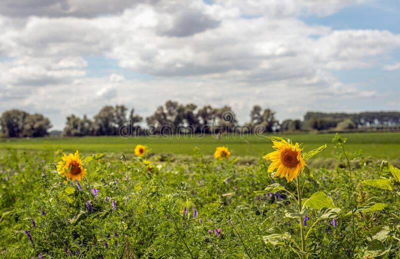 Colorful field edge along a Dutch meadow stock photos