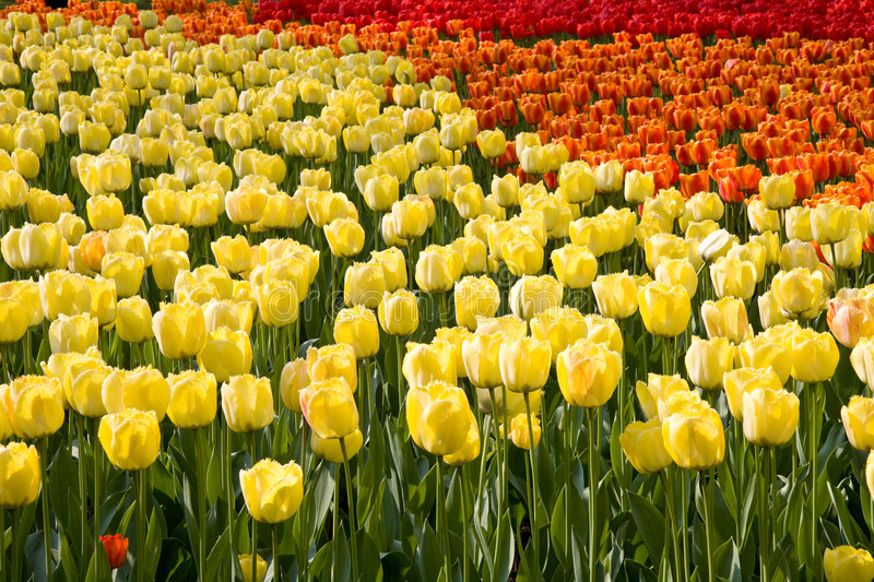 Download Colorful field of tulips stock photo. Image of park, festival - 9099978