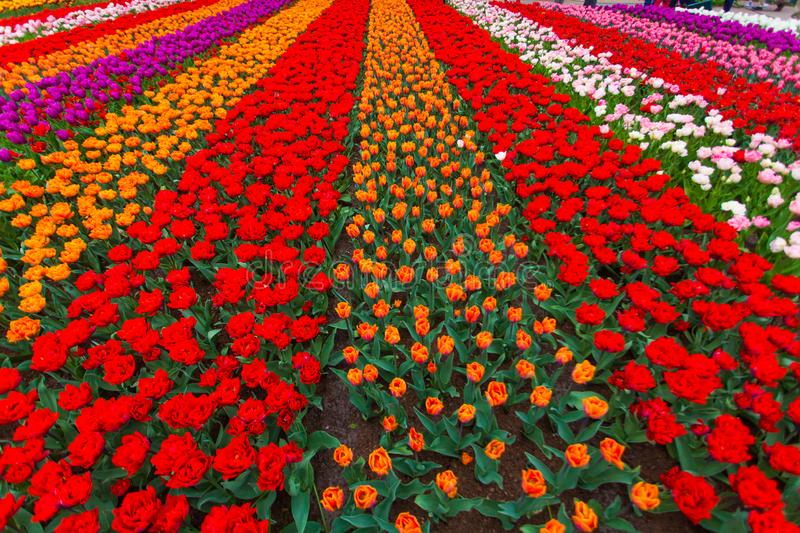 Colorful field of tulips, Netherlands. Keukenhof park, Holland. Flower background. Colorful field of tulips, Netherlands royalty free stock images